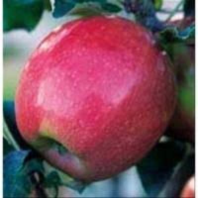 Яблоня Пинк Леди