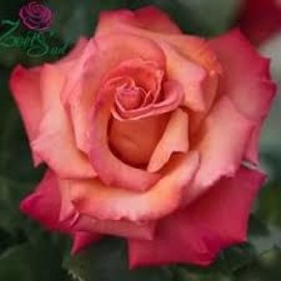 Роза чайно-гибридна Христофор Колумб