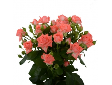 Роза спрей  ( бардюрная ) Барбадос