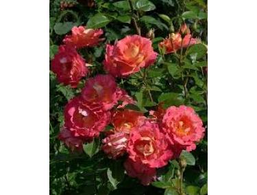 Роза плетистая ( шраб ) Декор Аркелин