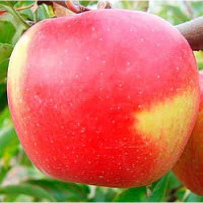 Яблоня Дельбаре –Эстевале