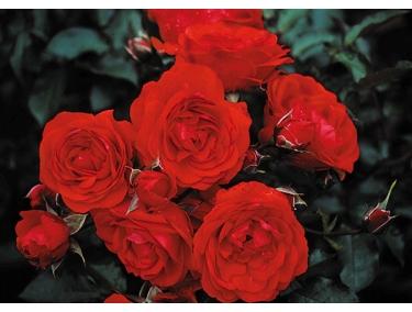Роза флорибунда Трумпетер