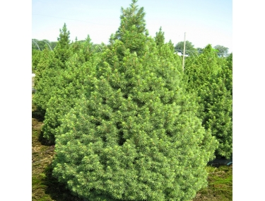 Ель Picea glauca