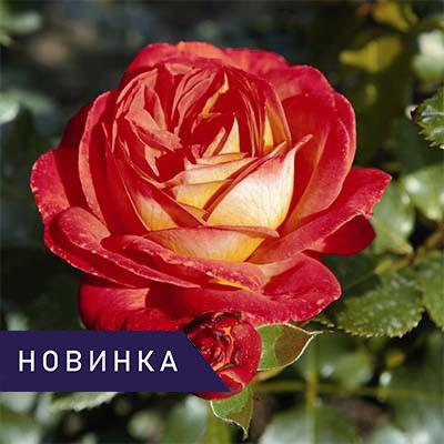 Роза флорибунда  Мидсаммер фото