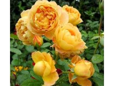 Роза плетистая ( флорибунда ) Чайнатаун