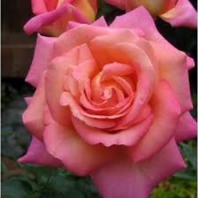 Роза чайно-гибридная Чикаго Пис