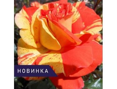 Роза флорибунда Оранж энд Лемон