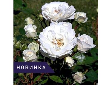 Роза плетистая Вайсе Волька