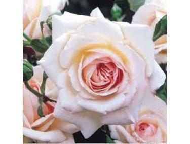 Роза плетистая Пэнни Лэйн