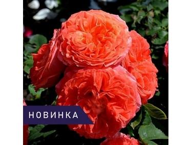Роза шраб ( романтика ) Эмильен Гийо