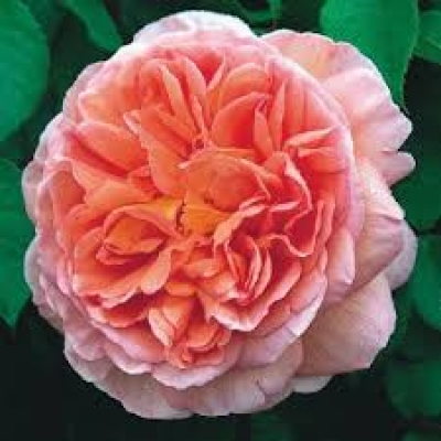 Роза ( английская )Абрахам Дерби