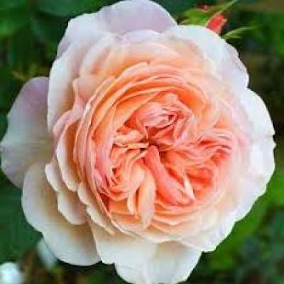 Роза английская Чарльз Остин фото
