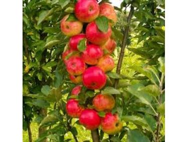 Яблоня Арбат ( колоновидная )