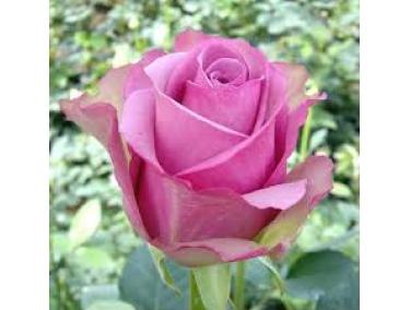 Роза чайно - гибридная Кул Вотер